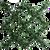 Ligustrum Leaf Espalier