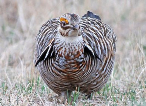 Photo Note Cards - Greater Prairie Chickens