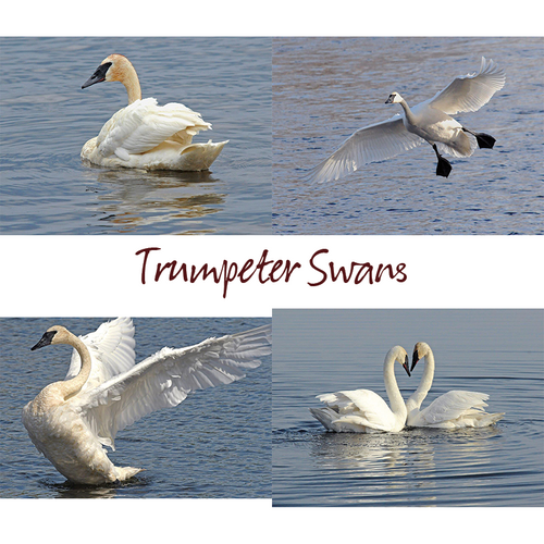 Wolf's Nature Vision Photography - Trumpeter Swans Note Card Set