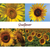 Sunflowers Note Card Set - Sunshine on single sunflower