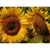 Sunflowers Note Card Set - Sunflower field