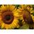Sunflowers Note Card Set - Sunflower duo