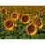 Sunflowers Note Card Set - Close up photograph of disk and ray flowers