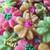 Spring Spritz Flower Cookies - Closeup