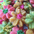 Spring Spritz Flower Cookies - Closeup