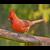 Cardinal Note Card Set