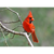 Cardinal Note Card by Wolf's Nature Vision Photography - Alt Image 4