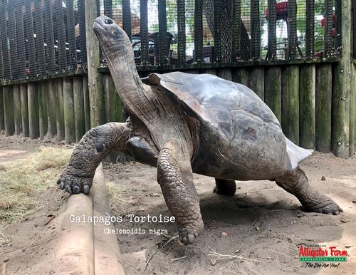 Adopt Galapagos Tortoises