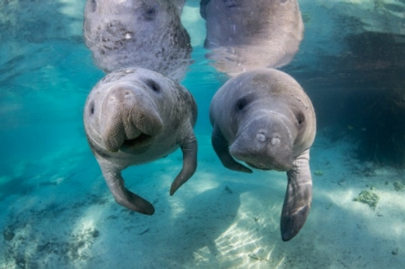 Bucket List: Swim with Manatess – Get to know these gentle giants