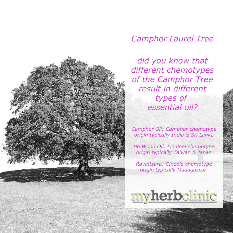 The versatility of the Camphor Laurel Tree