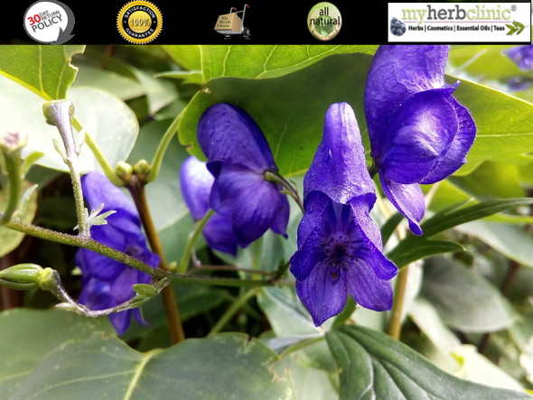 MY HERB CLINIC ® ORGANIC SKULLCAP TEA ~ CALMING ANXIETY NERVINE TONIC