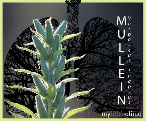 MULLEIN - Verbascum thapsus - BEST PURE QUALITY DRIED HERB TEA - SMOKE