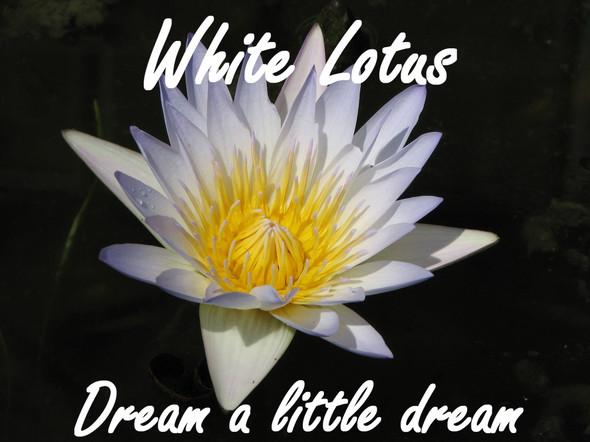 WHITE LOTUS FLOWER - ORGANIC CALMING RELAXING LUCID PUFF 10g