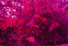 View of same tree through stress detection glasses. Dead/dying foliage shows bright red.