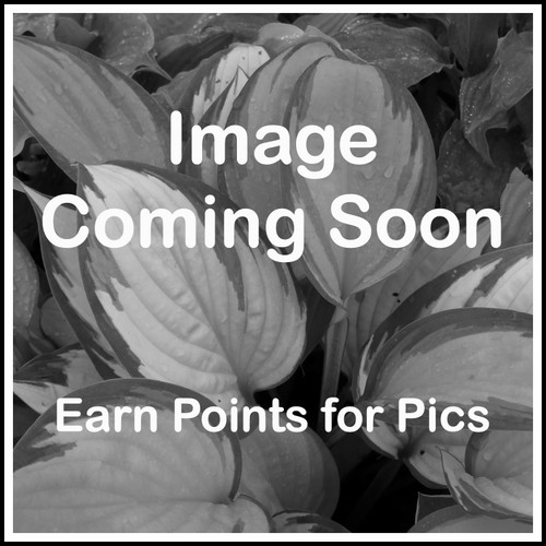 Hosta Chariot's of Fire