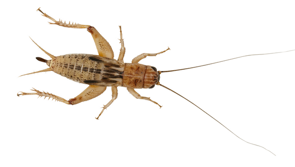 Silent Brown Crickets (Small) Tub of 250