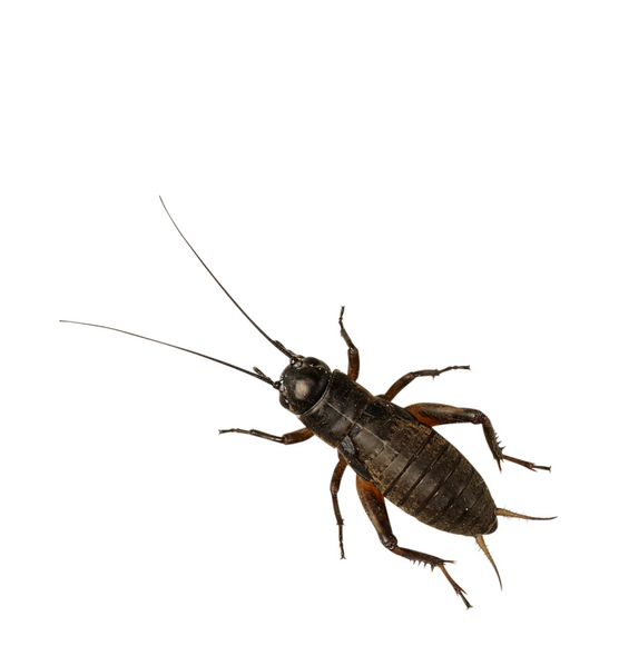 Black Field Crickets (Extra-Large) Tub of 25
