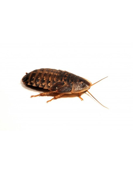 Dubia Roaches (6 Adult)