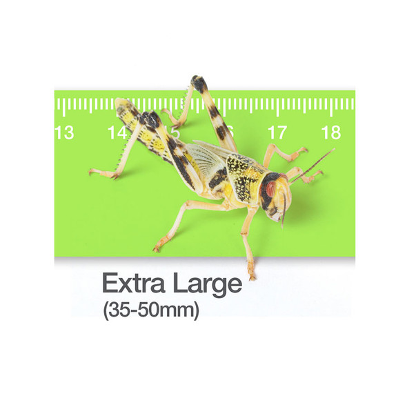 Locusts (XL) Bulk 50 (Packed in Tubs)