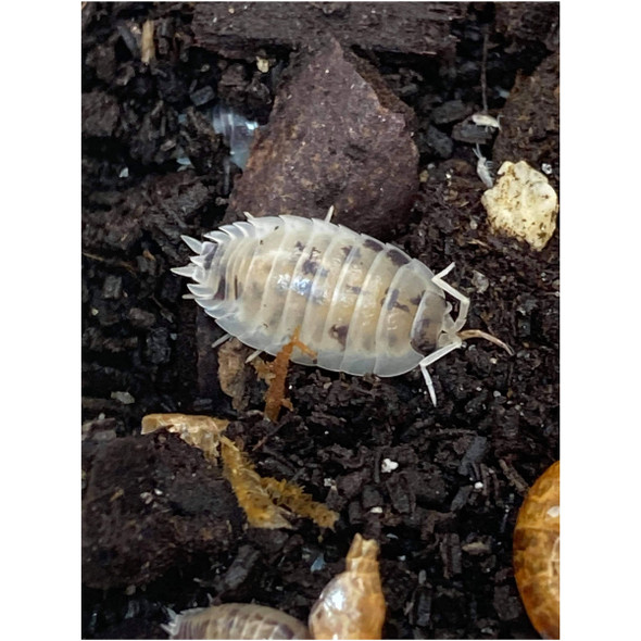 Dairy Cow Woodlice (Porcellio laevis) Pack of 10