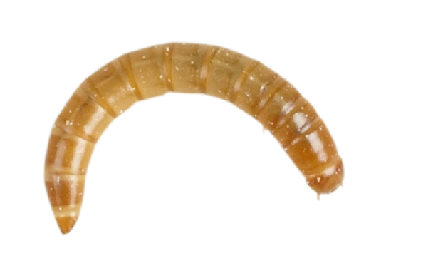 Mealworms (Standard) 60g Tub