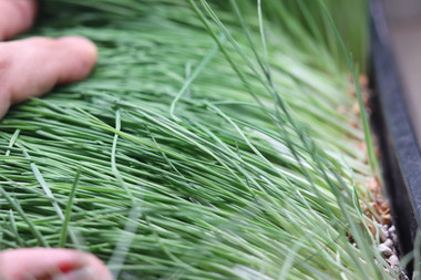 picture taken right before harvest time which is after the 1st jointing phase following Dr. Charles Shnabel's patented process, for best time to harvest wheatgrass for nutritional content.