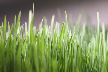 Just some pretty wheatgrass growing.