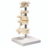 Anatomical Model - 6 mounted vertebrae with removable stand