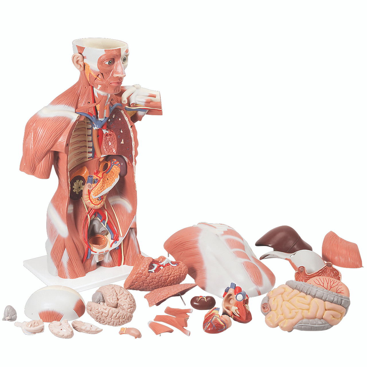 Anatomical Model - Life size Muscle Torso, 27 part