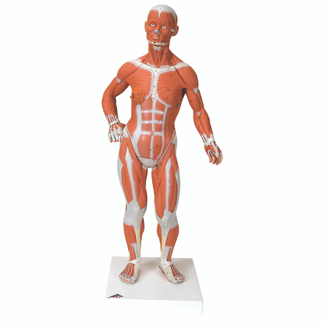 Anatomical Model - 1/3 Life-Size Muscle Figure, 2-part