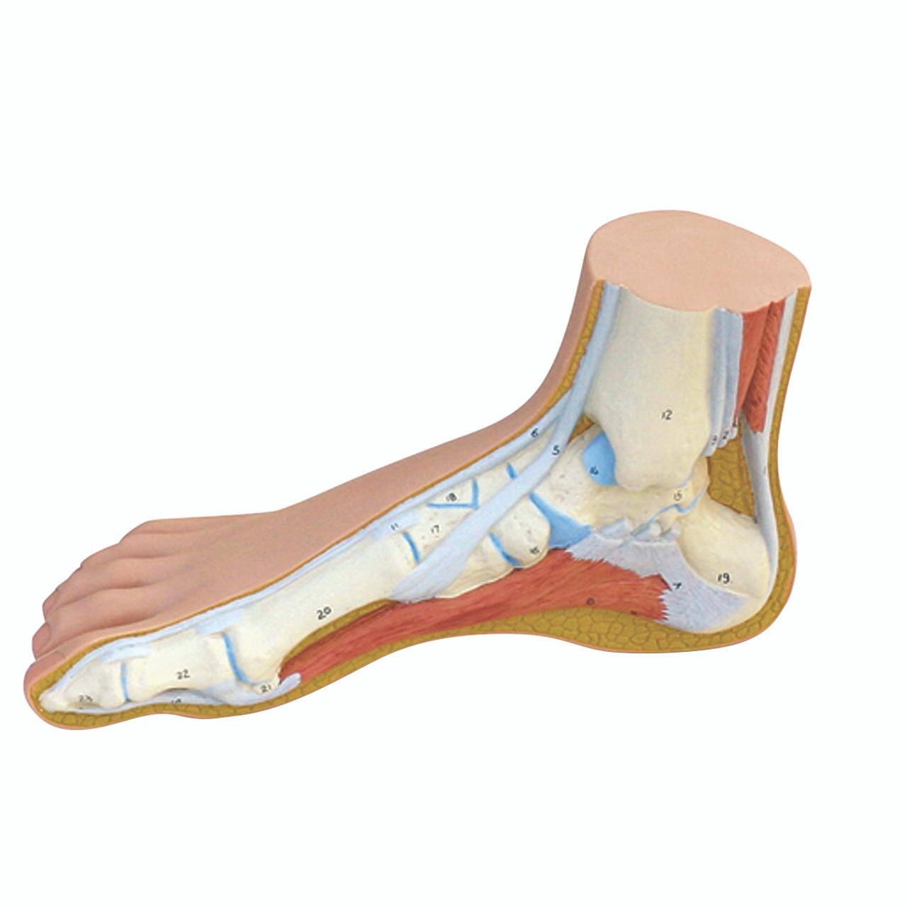 Anatomical Model - Normal Foot