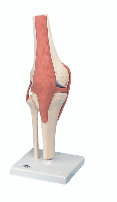 Anatomical Model - functional knee joint, deluxe