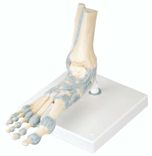 Anatomical Model - foot skeleton with ligaments