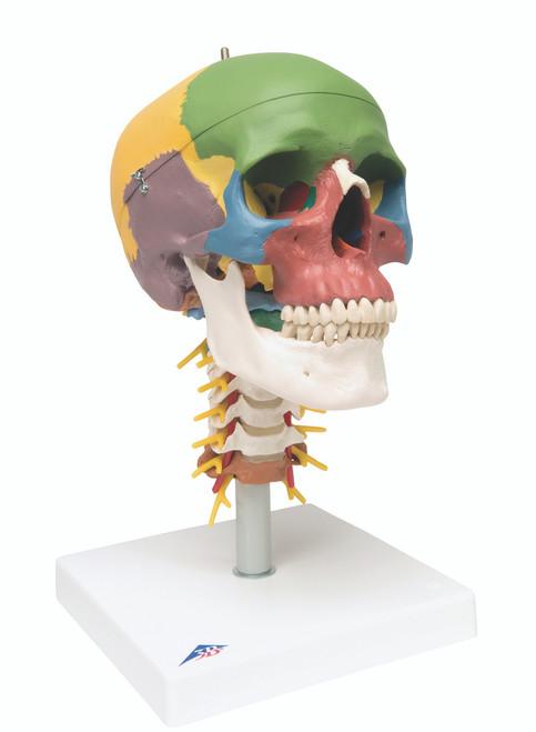 Anatomical Model - didactic skull, 4 part, on cervical spine