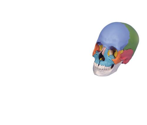 Anatomical Model - didactic skull, Beauchene 22-part