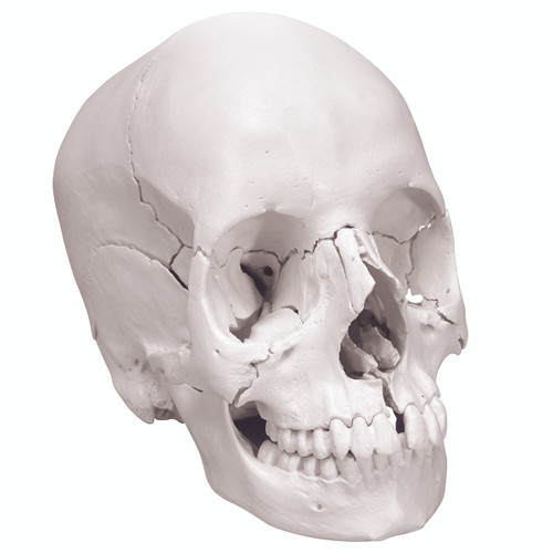 Anatomical Model - anatomical skull, Beauchene 22-part