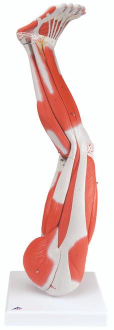 Anatomical Model - Regular muscular leg 9-part