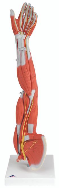 Anatomical Model - Regular muscular arm 6-part