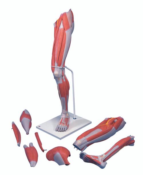 Anatomical Model - Deluxe muscular leg 7-part