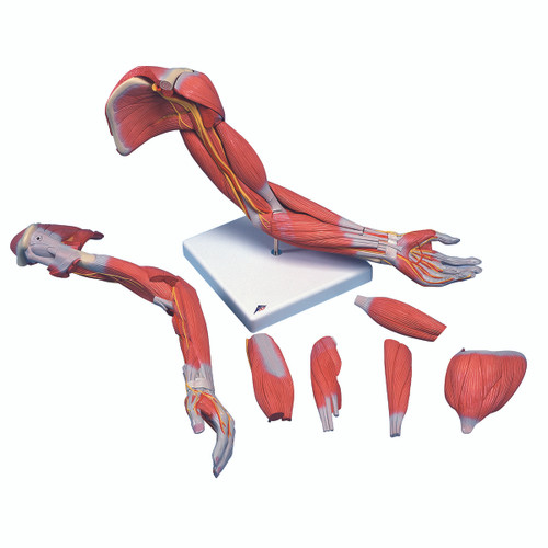 Anatomical Model - Deluxe muscular arm 6-part