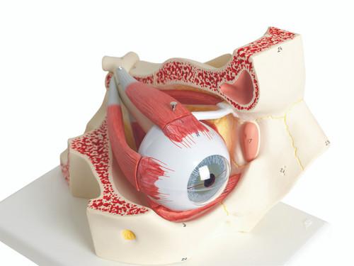 Anatomical Model - eye, 7-part (3x size)