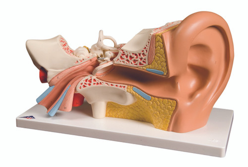 Anatomical Model - ear, 4-part (3x size)