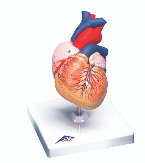 Anatomical Model - heart, 2-part