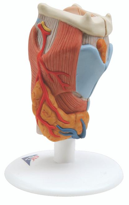 Anatomical Model - larynx, 2-part
