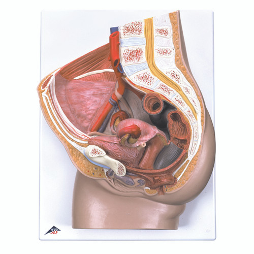 Anatomical Model - Female Pelvis with Ligaments, 3 part