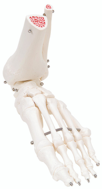 Anatomical Model - loose bones, foot skeleton with ankle (wire)
