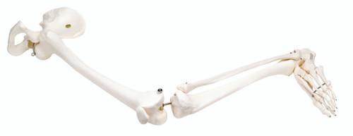 Anatomical Model - loose bones, leg skeleton with hip (wire)
