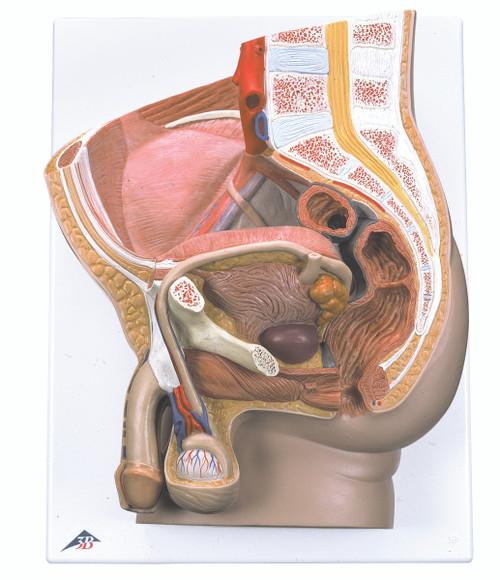 Anatomical Model - Male Pelvis, 2 part