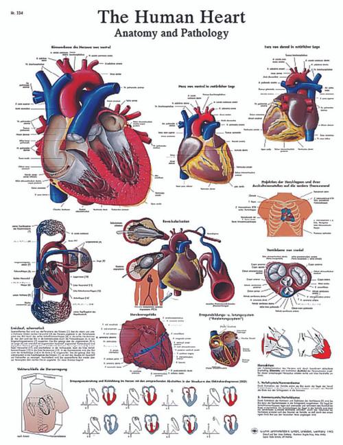 Anatomical Chart - human heart, sticky back