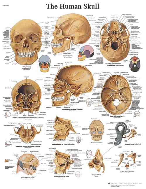 Anatomical Chart - human skull, sticky back